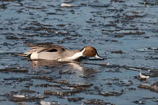 Pintail negotiating the ice at Martin Mere