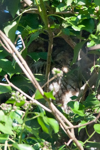 Tawny Owl hidden in the deep shade of an Ivy covered tree