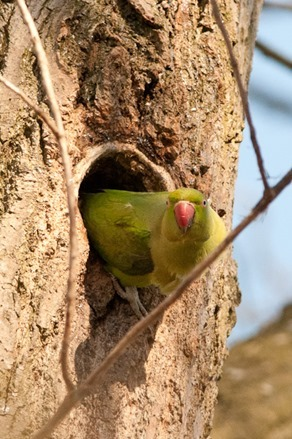 Ring-necked Parakeet, Chorlton Water Park