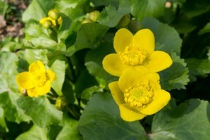 Marsh Marigolds just begining to open up at Stenner Woods