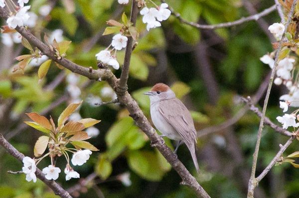Blackcap (female) in a Wild Cherry at Chorlton Ees