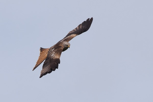 One of the Chiltern's Red Kites.