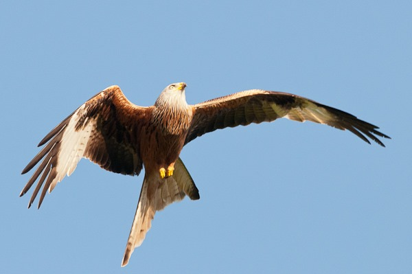 Red Kite soaring upwards after swooping down for a piece of chicken