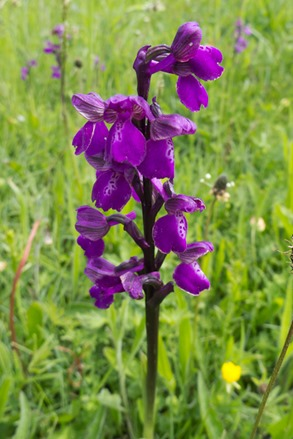 The standard purple form of the rare Green winged Orchid
