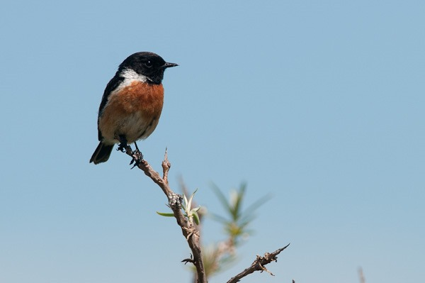 An ever watchful male Stonechat