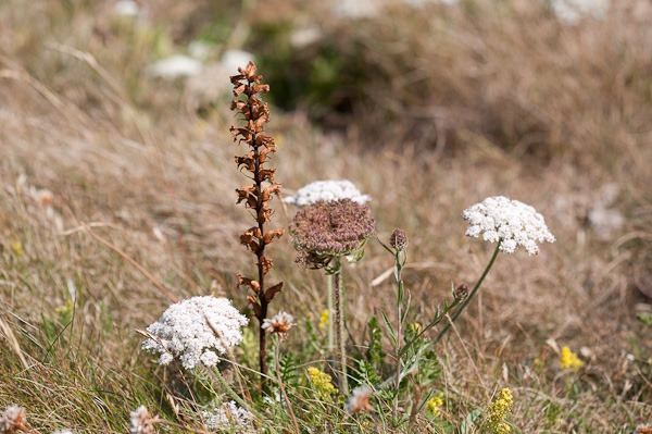 The rare and earlier flowering Carrot Broomrape