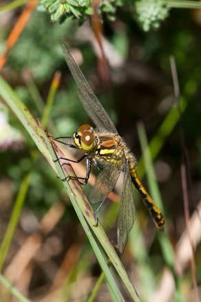 Immature, male Black-tailed Skimmer