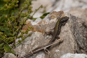 Male Wall Lizard