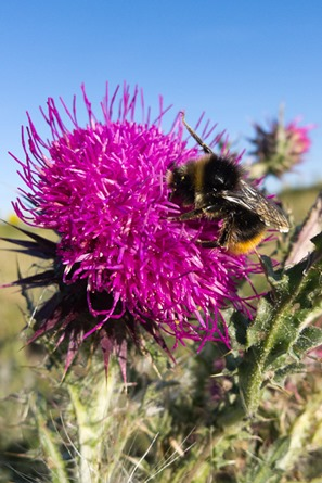 Musk Thistle at Corfe Castle