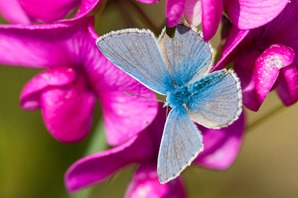 Common Blue on the flower of a Broad-leaved everlasting Pea