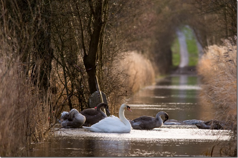 Mute Swans swimming across the causeway at Leighton Moss.
