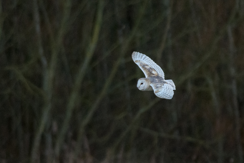 Difficult to beat the sight of a Barn Owl quartering a meadow in the fading light of a winters day