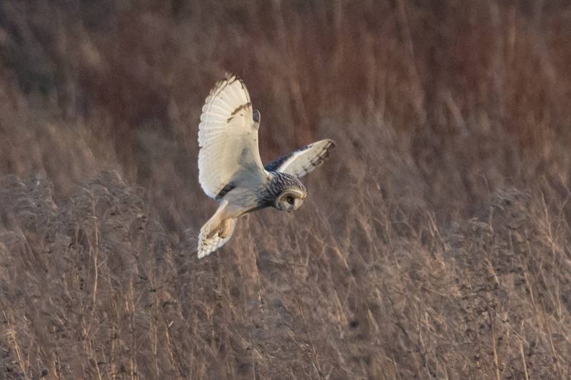 Short-eared Owl hovering over the rough grass