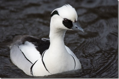 Male Smew unfortunately part of the collection rather than wild