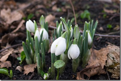 The 1st Snowdrops of the year