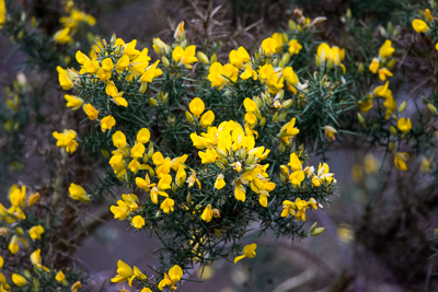 Gorse on the former Barlow Tip