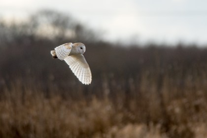 Barn Owl quartering the meadow at Lunt