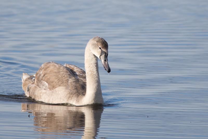 A lone Whooper Swan.