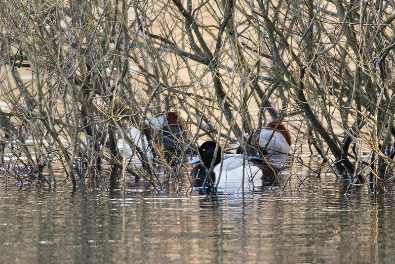 Male Scaup at Chorlton Water Park