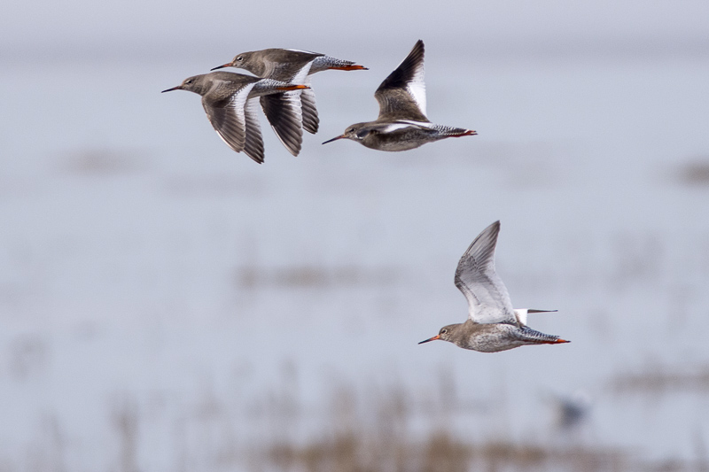 More Redshanks flying west