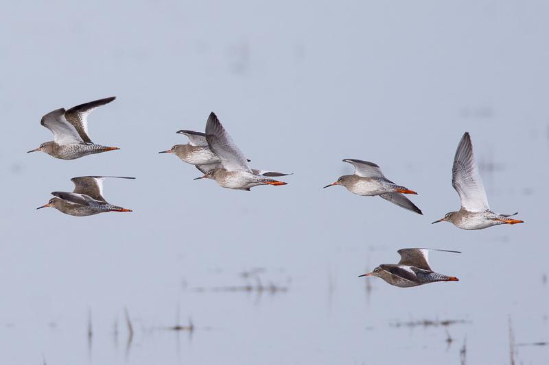 Redshanks in flight