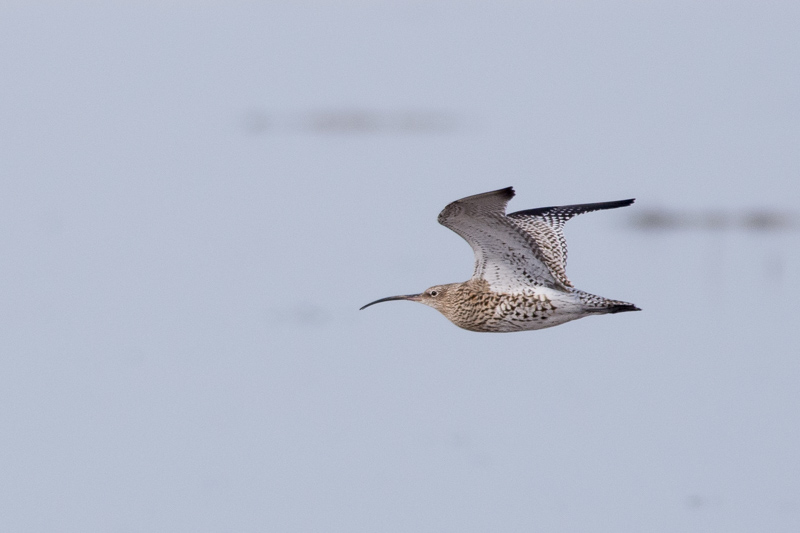 Curlew flying west