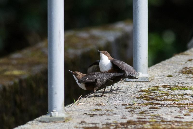 Dippers courtship display and mating at Haredon Intake