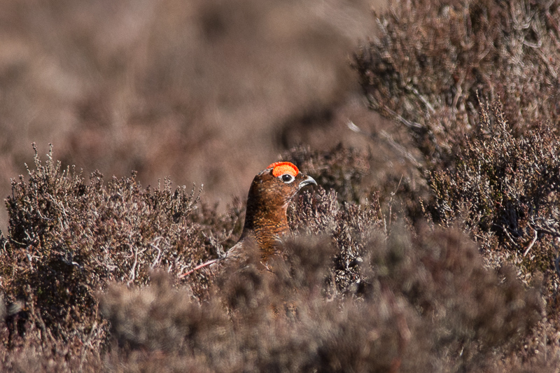 Red Grouse amongst the heather at Stanage Edge