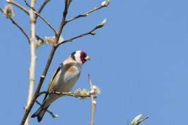 Goldfinch at Errwood Hall