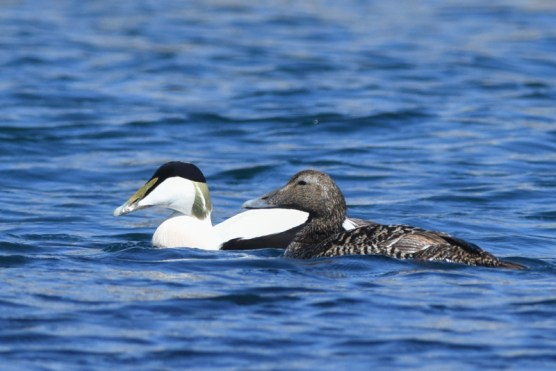 Eider - male & female