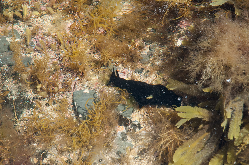"""Apparently the Sea Hare is named due to the resemblance of their """"bunny ear"""" tentacles known as Rhinophores which are used to detect scents in the water."""