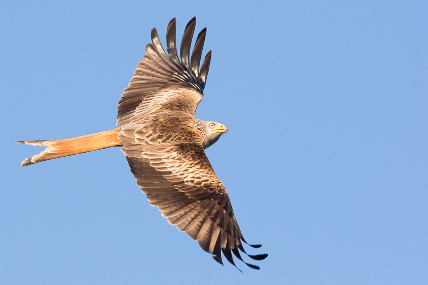 With a minimum of 30 Red Kites soaring over Watlington Town centre from mid-morning onwards they really are impressive