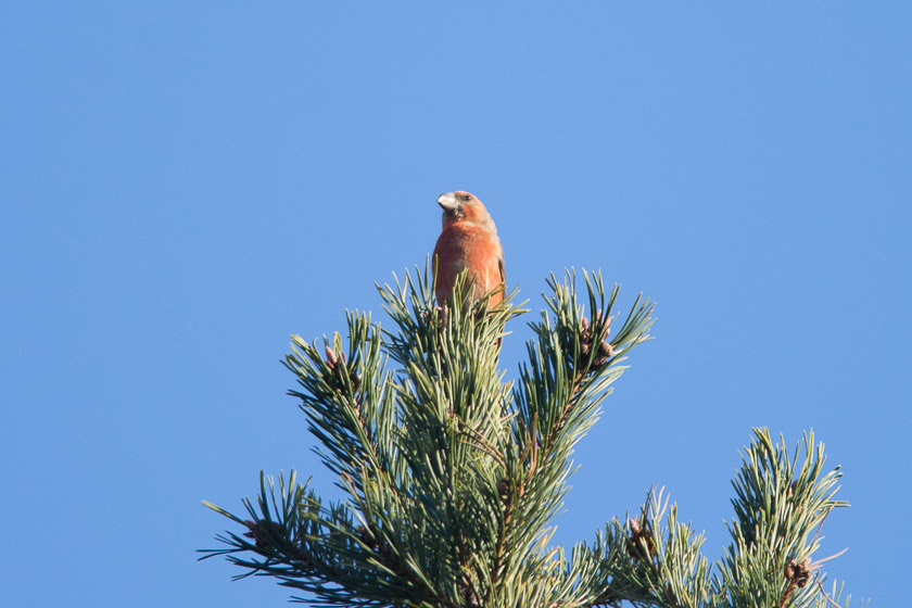 Common or Parrot Crossbill ?