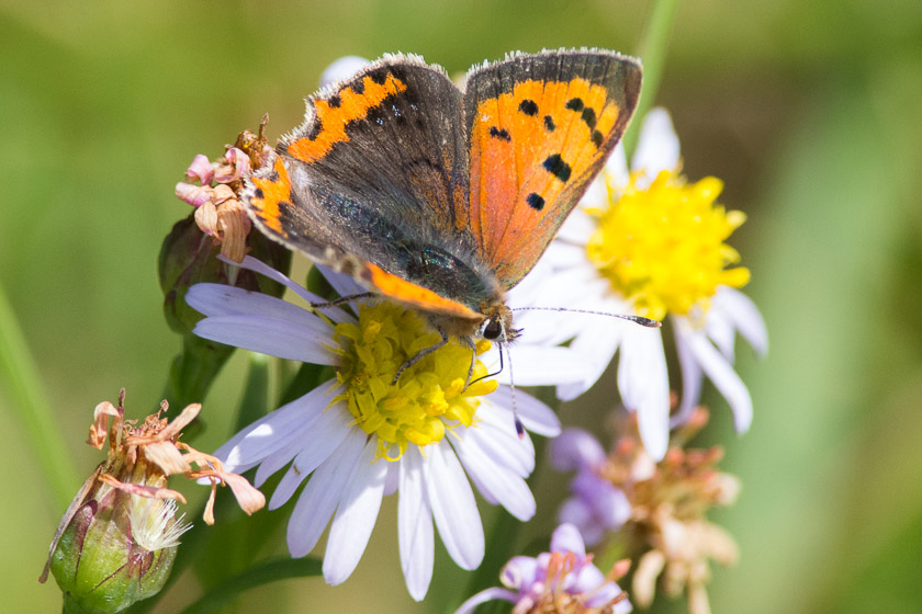 Small Copper in one of the meadows above the Lighthouse, Durlston Country Park