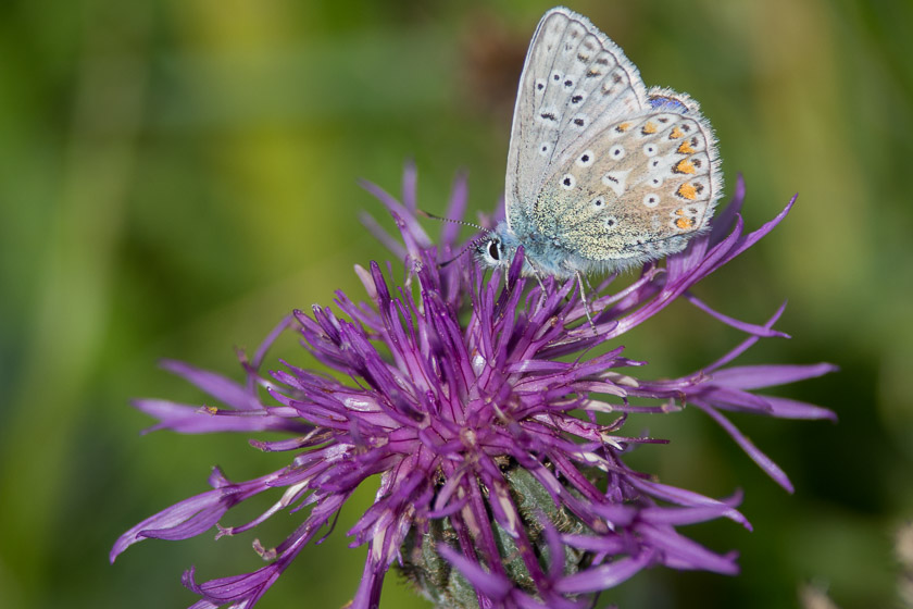 Adonis Blue on Greater Knapweed close to the Lighthouse at Durlston Country Park
