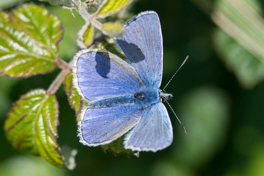 Adonis Blue basking in the early Autumn sunshine.