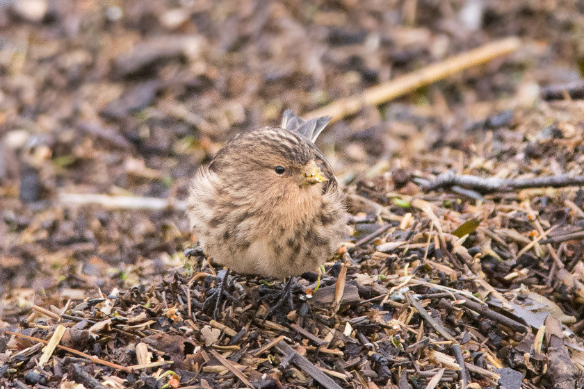 Twite rummaging around the tideline looking for seeds.