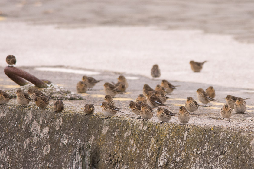 Approximately half of the Twite flock waiting to drop down from the slipway to the Knott End Ferry
