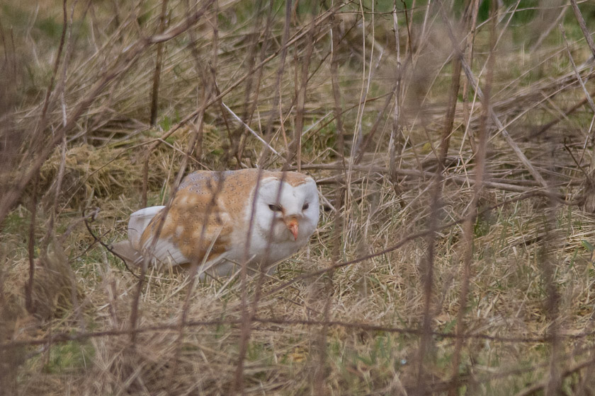 Barn owl on the ground with a hidden vole that was about to be devoured.