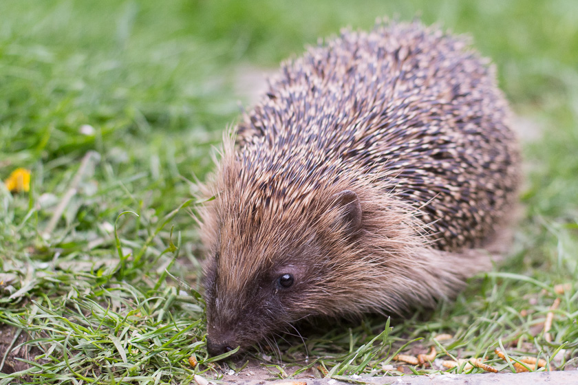 Hedgehog in rear garden, Chorlton, Manchester