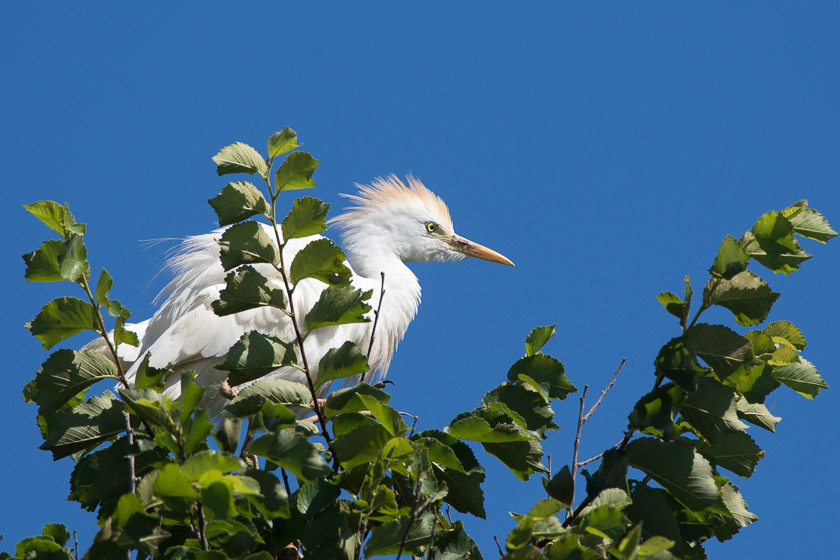Cattle Egret perched in tree
