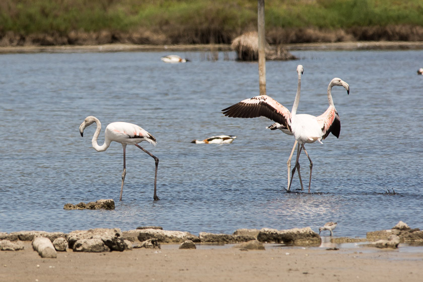 Greater Flamingo's at S'Albufera