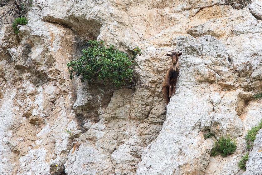 Adult male (Billy Goat) casually enjoying a death-defying wander in the Serra de Tramuntana mountain range.