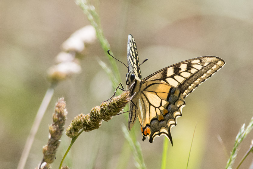 Swallowtail resting on a seed-head
