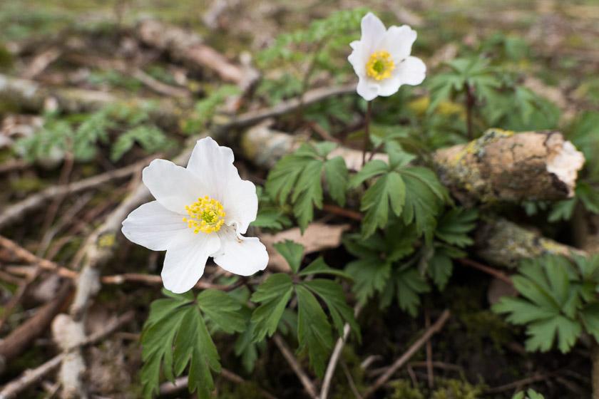 Wood Anemone's growing in Stenner Woods, Didsbury