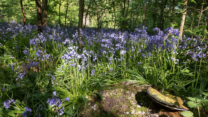 Woodland floor carpeted with Bluebells