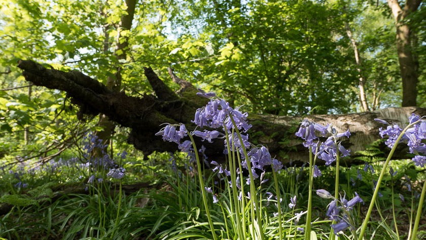 Bluebells in an ancient woodland
