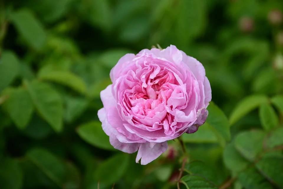 imagem mostrando uma rosa centifolia, um dos destaques das flores produzidas em Grasse