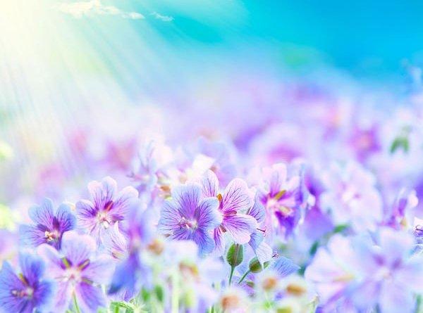 flores-purpura