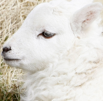 Lamb - is it natural and ethical to eat it?